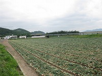 玉ねぎ畑.jpg